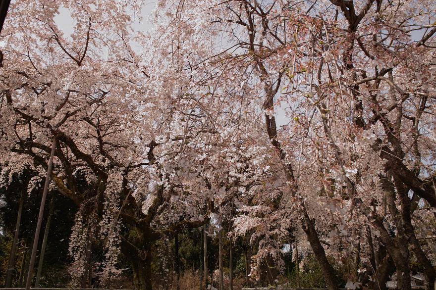 桜吹雪 サクラ 醍醐寺 京都 2009 DP1