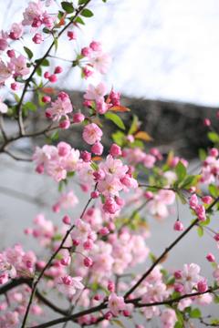 さくらんぼっぽい花