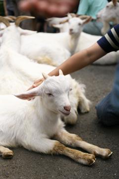 羊がいっぱい