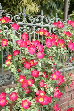 バラっぽい花