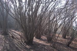 アブラチャンの林 クリックすると大きな写真になります。