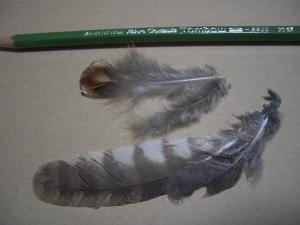 ヤマドリとタカ類?羽根 クリックで拡大