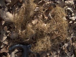 地面に落ちたリスの巣 クリックで拡大
