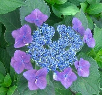 Hydrangea_macrophylla_forma_normalis_01.jpg