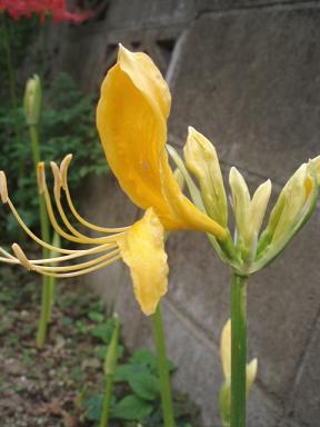 庭の彼岸花黄色