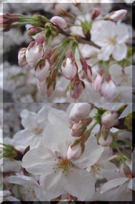 90321P3210578桜