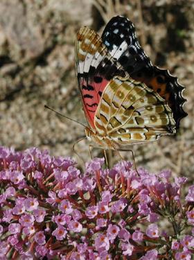 蝶々とブッドレア