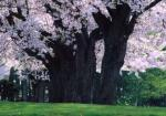 ニセコ高校桜並木