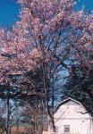 藤山の離農跡サイロと桜
