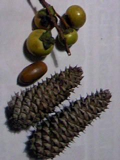 photo豆柿と三葉松