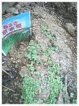 水菜4.29