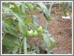 0603 トマト