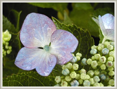6.10 紫陽花②