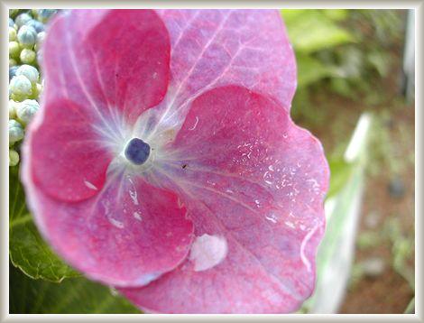 6.10 紫陽花④