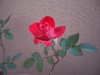 s-冬のミニ薔薇