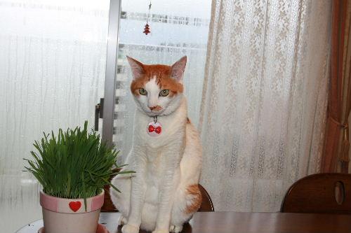 れおと猫草