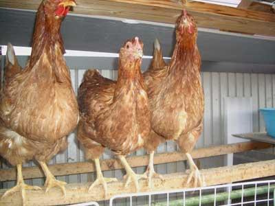 ニワトリ初産卵1