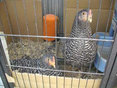 ニワトリ初産卵3