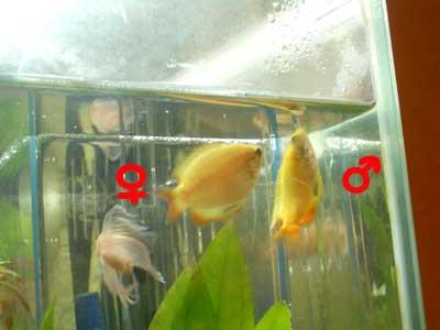 GHDグラミー繁殖2