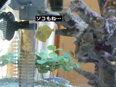 ニモフグ水槽大掃除6
