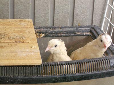 白ウズラ産卵3