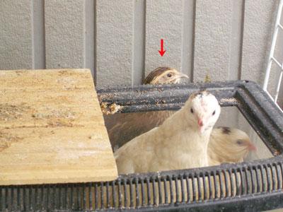 白ウズラ産卵4