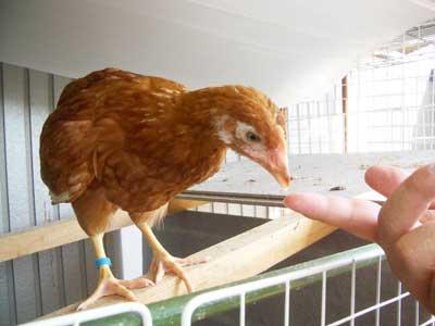 若鶏になりました1