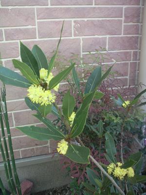 月桂樹の花1