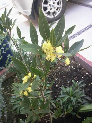 月桂樹の花2