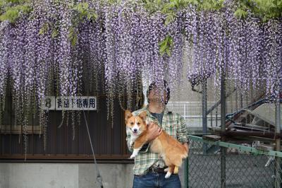 藤の花もうすぐ満開