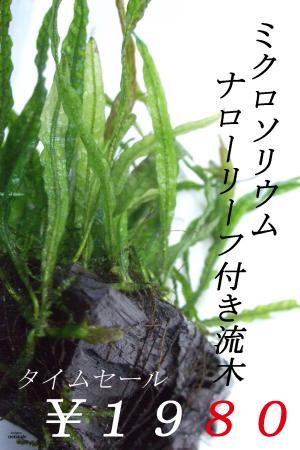 ミクロソリウム ナローリーフ付き流木