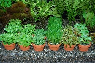 鉢植え水草1