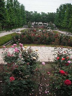 秋留台公園のバラ