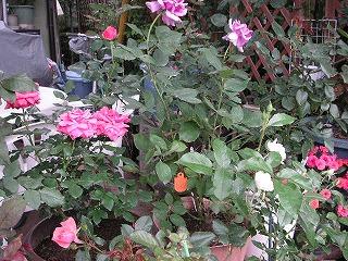 鉢植えの木バラ