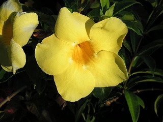 ゆうなに似た黄色い花