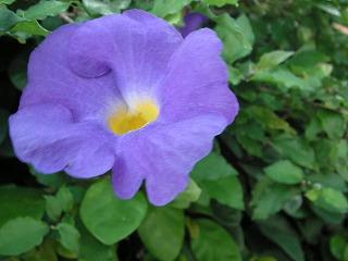 あさがおに似た花