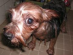 ぼく、毛が濡れるとこんな感じになっちゃうんだよ