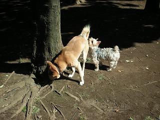 柴犬君のおちりをフンフン