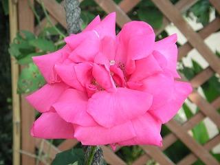大きなバラ