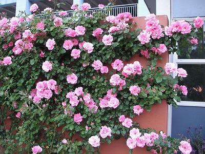 クライストチャーチのバラ