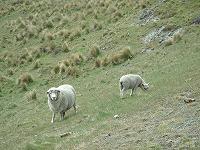 放し飼いの羊
