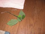 ポインセチアの葉っぱ