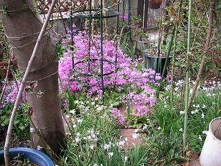 桜草とハナニラ