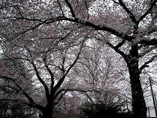 公園の桜も満開