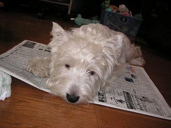 新聞の上に乗っちゃいまちた