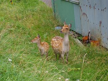 蝦夷鹿の親子