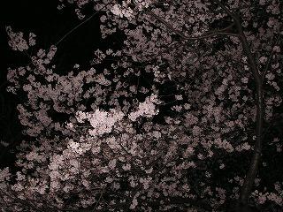 国立の桜no2