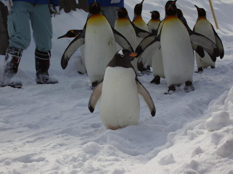 ジェンツーペンギン前を往く
