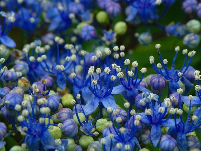 綺麗だな~額紫陽花