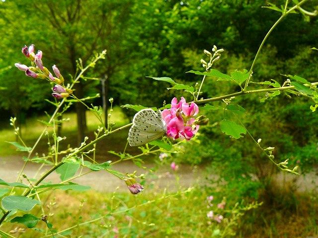 マルバハギに蝶♪